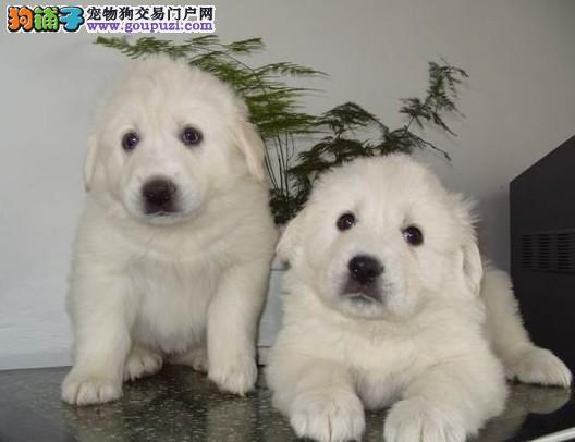 AKC注册犬业专业基地繁殖双冠血统纯种大白熊质保