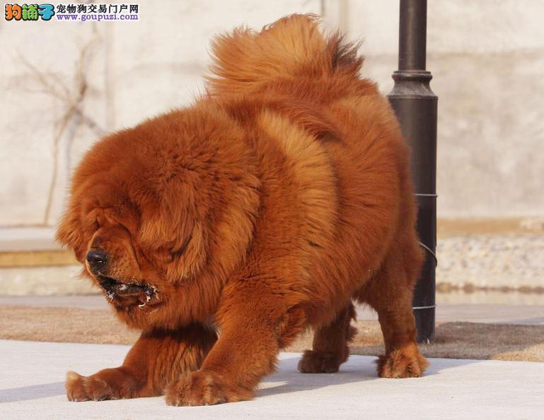 血统纯种藏獒 CKU认证犬业