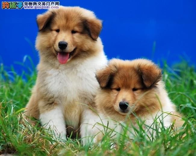 热销多只优秀的郑州纯种苏牧幼犬可直接微信视频挑选