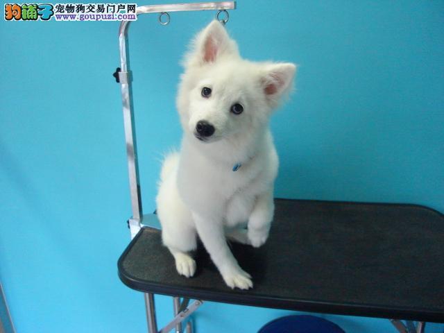 出售银狐犬 血统纯正 毛色亮丽品相极佳 欢迎选购