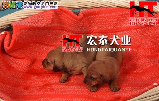 出售纯种腊肠幼犬, 健康保证 信誉保证 血统保证