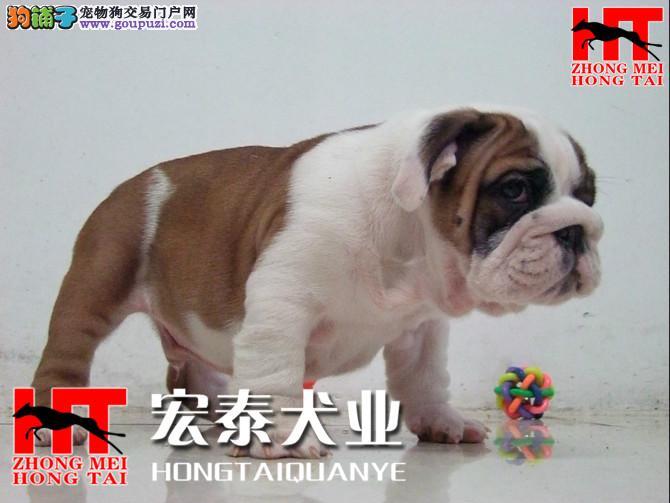 北京中美宏泰犬业 出售纯血统,健康英牛犬