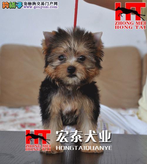 金头银背 专业繁殖出售纯种约克夏幼犬 宏泰犬业