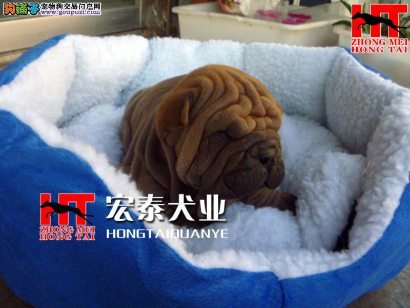 纯种 沙皮犬 极品沙皮幼犬多只出售。质量有保障