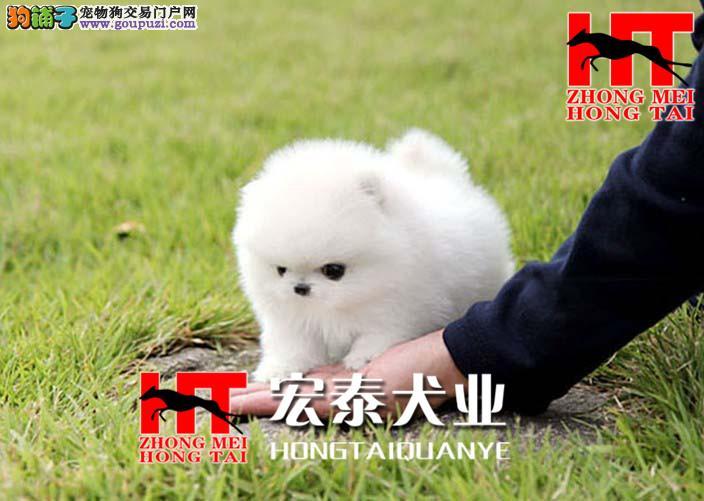 白色哈体博美可爱宝宝出售 中美宏泰犬业,FCI认证犬业