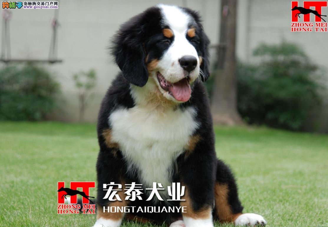 狗场繁殖 纯种健康伯恩山幼犬、三年联保、可签协议