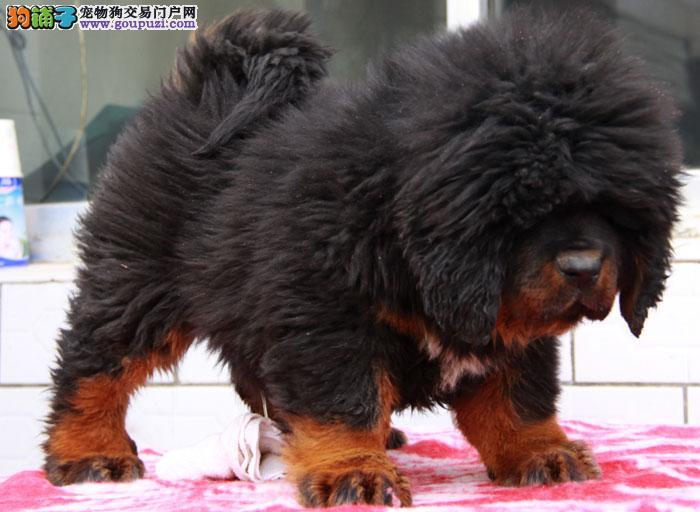 纯正血统藏獒,CKU认证犬业。