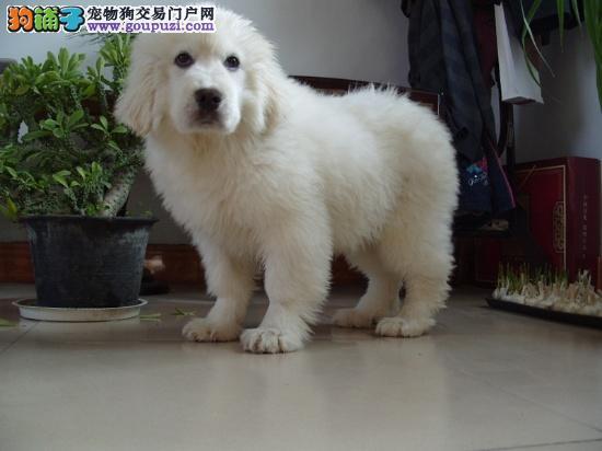 正规养殖基地常年出售纯种大白熊幼犬