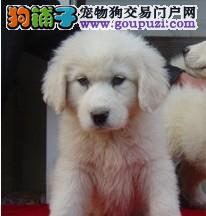CKU认证三代血统白熊幼犬