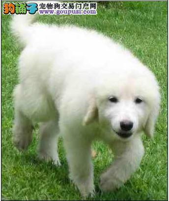 狗场常年出售大白熊幼犬  狗父母可看  三年联保