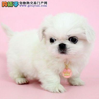 优雅、精致的狗狗 京巴