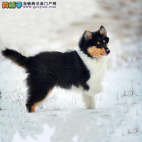 专业繁殖纯种北京苏牧疫苗齐全签协议上门选