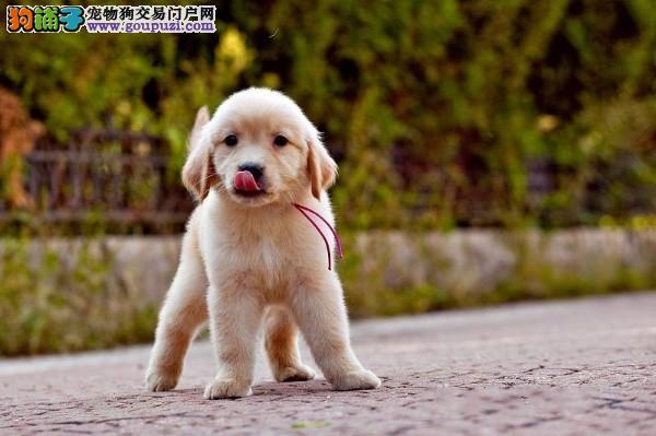 自家狗场专业繁殖出售精品金毛犬 欢迎来上海上门选购