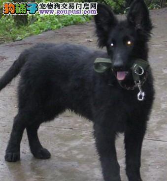 贵族纯正比利时牧羊犬,保证血统纯度,签订终身合同