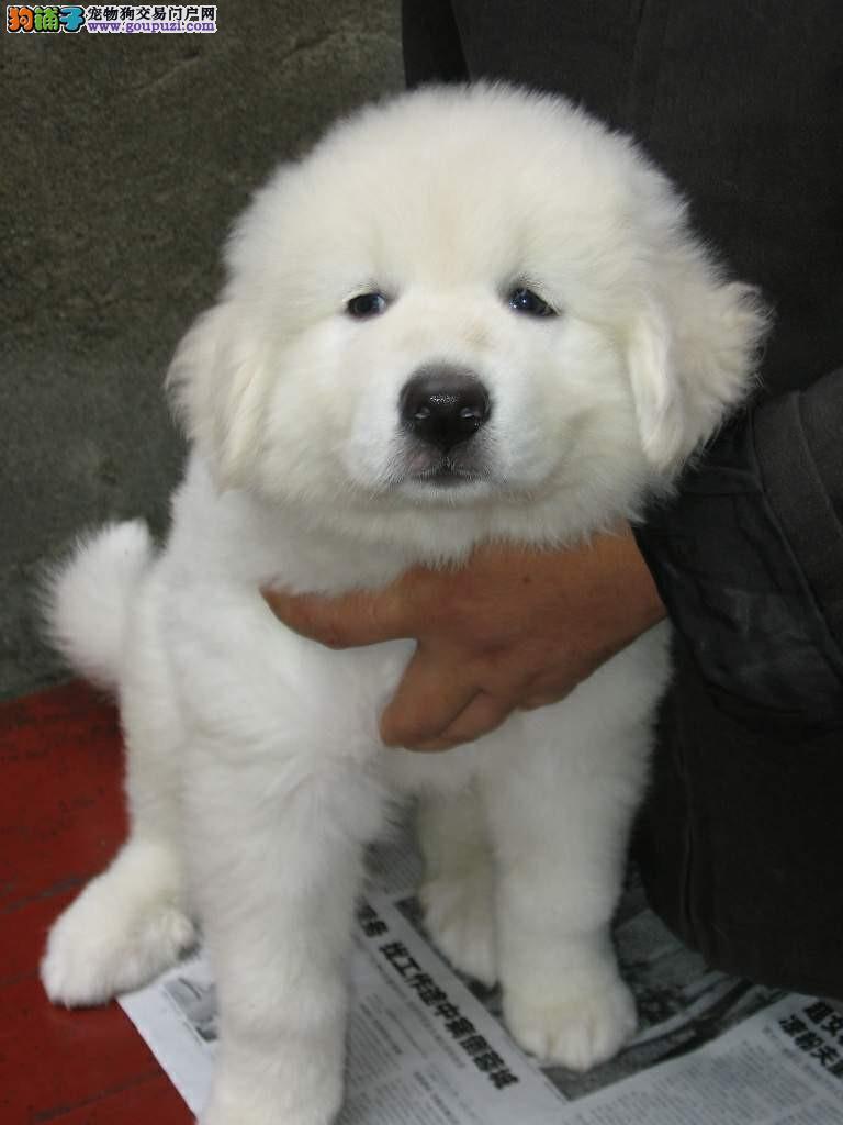 出售纯种大白熊 白熊幼犬 疫苗驱虫也作齐
