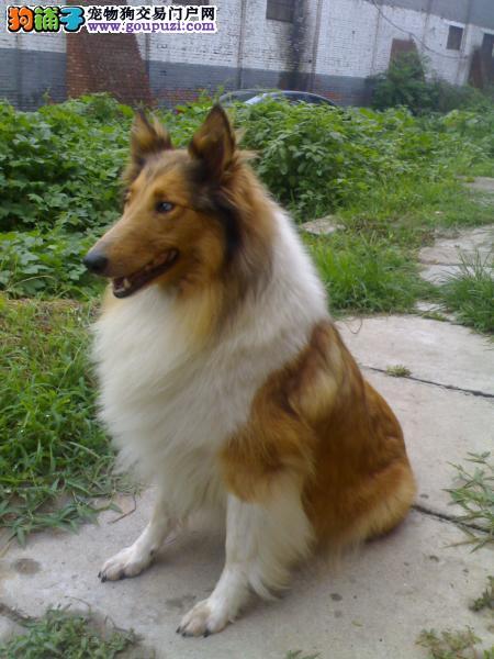 黄浦区上门犬业出售苏格兰牧羊犬/当天全款包邮·送货