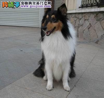 广州纯种苏牧幼犬繁殖基地出售优质苏格兰牧羊犬幼犬