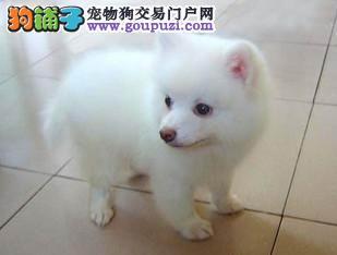 专业繁殖基地银狐幼犬纯种健康公母齐全
