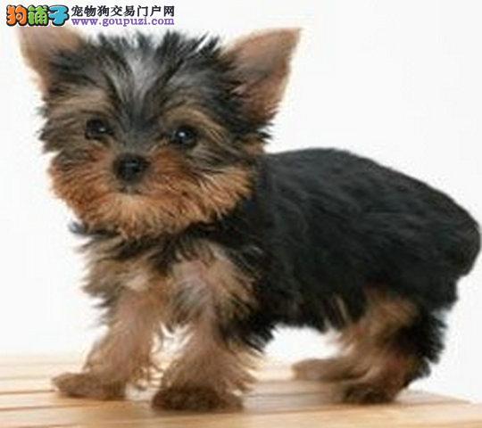 可爱的约克夏幼犬对外出售品质保障欢迎来选