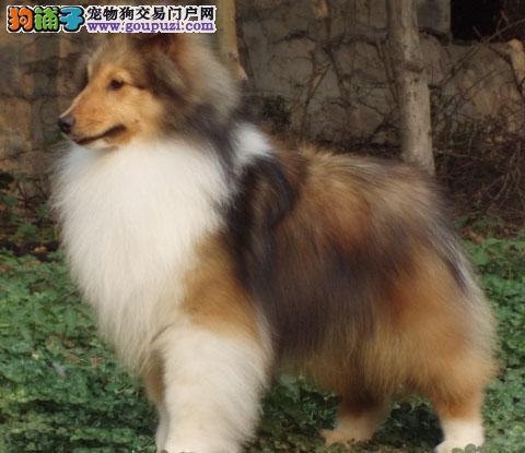 专业正规犬舍热卖优秀吉林苏牧喜欢它的快来