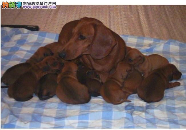 重庆本地犬舍直销,十数种名犬幼犬两到三个月,可上门
