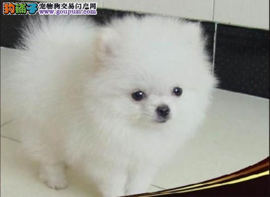 出售正宗血统优秀的济南银狐犬当日付款包邮