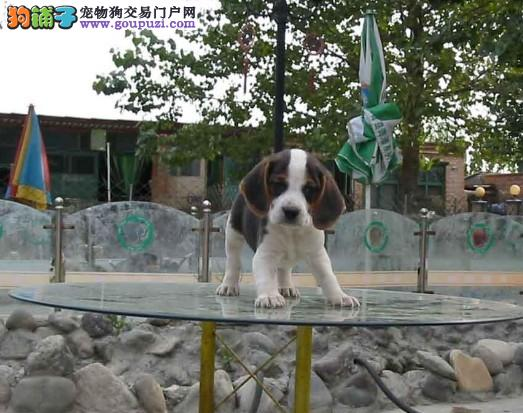 上海哪里有比格犬出售 纯种比格幼犬多少钱一只