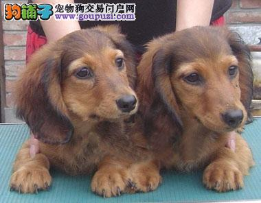 赛级品相腊肠犬幼犬低价出售可直接视频挑选