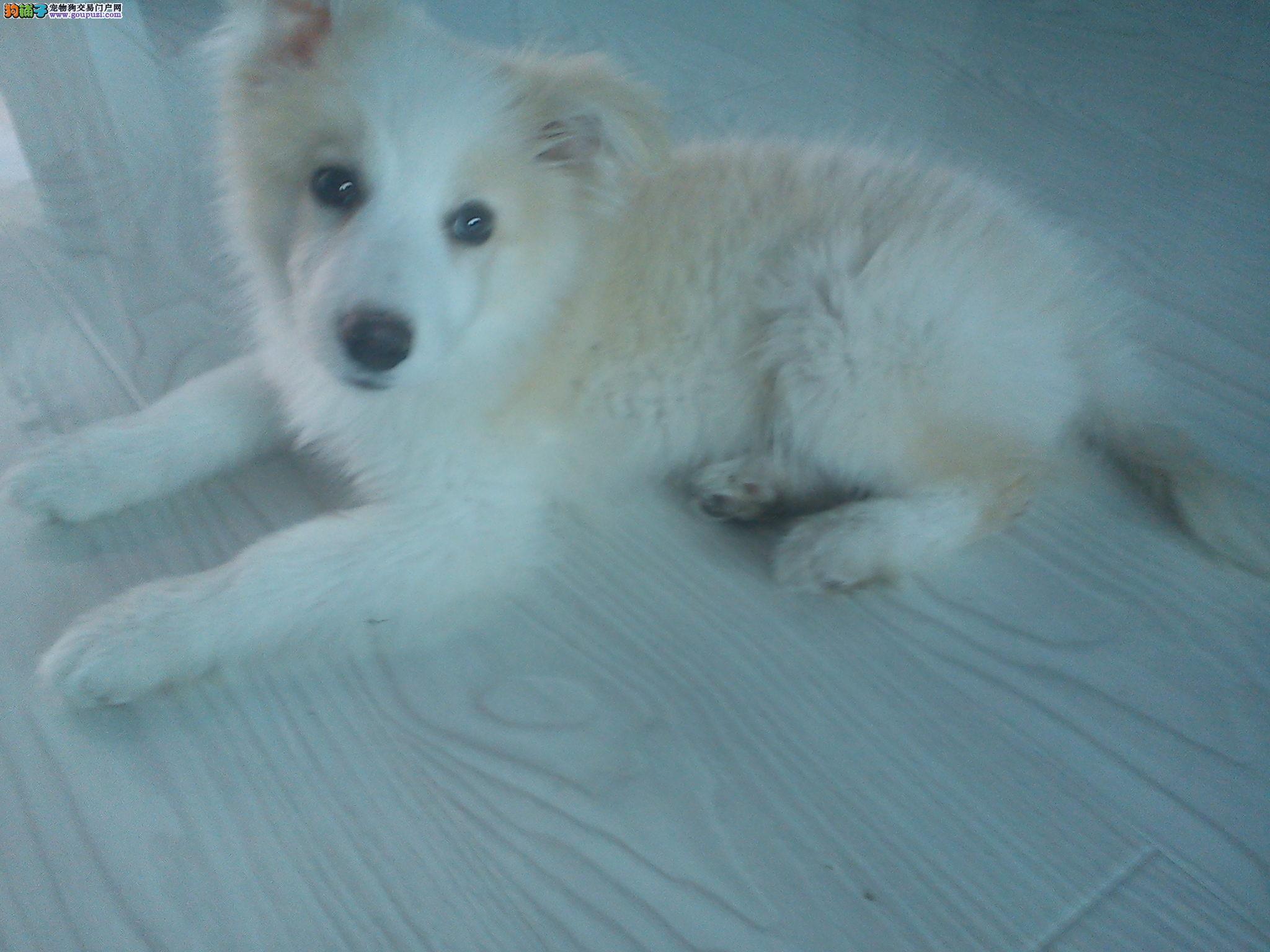 白边/吉林省长春市出售边境牧羊犬 两个月公狗黄白边[两个月公狗]