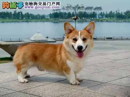 柯基幼犬热销中 国际血统品质保障 三年联保协议