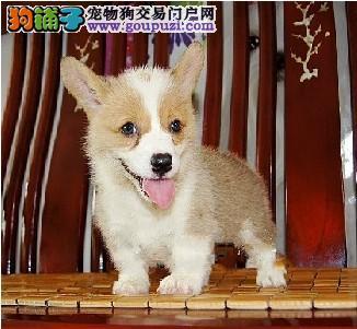专业繁殖纯种上海柯基疫苗齐全爱狗人士优先