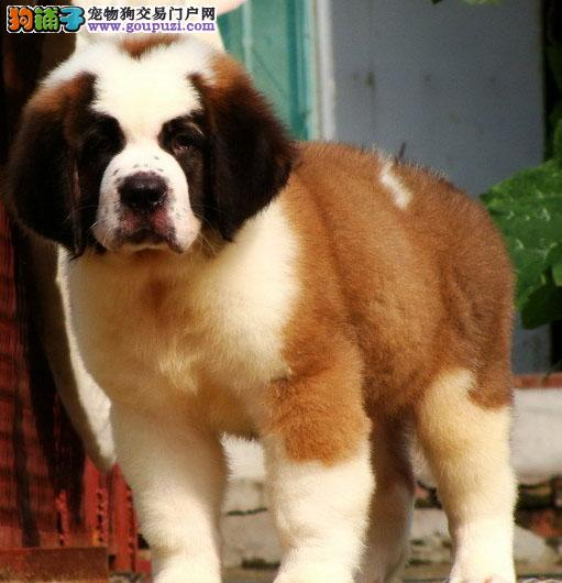 广州狗场出售来自古希腊血统的圣伯纳犬,圣伯纳幼犬