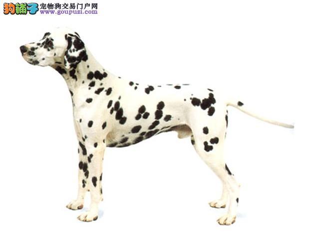 专业正规犬舍热卖优秀的天津斑点狗专业繁殖中心值得信赖