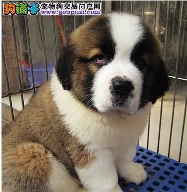 高品质赛级圣伯纳幼犬终身保障可来场选质保