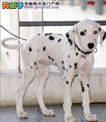 超可爱便宜的斑点狗种类