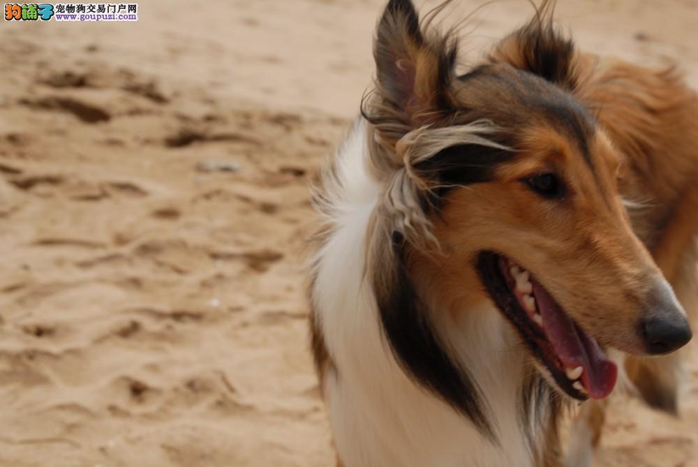 吉林出售极品苏牧幼犬完美品相吉林市内免费送货