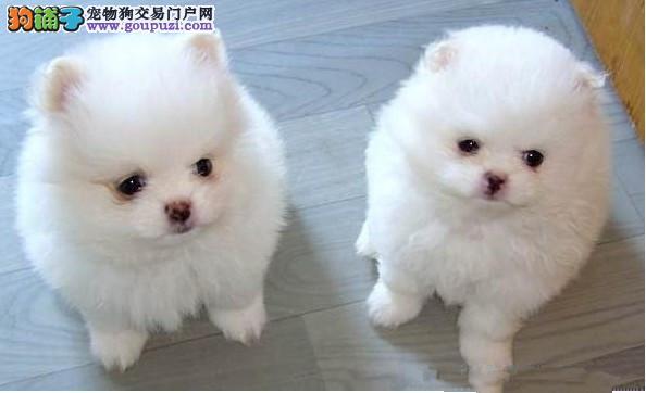权威机构认证犬舍 专业培育银狐犬幼犬期待您的来电咨询