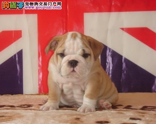 沈阳狗场出售英系美系斗牛犬 三个月公母均有