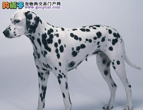 精品斑点犬 保纯保健康 疫苗和驱虫均已做完 可签协 1