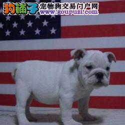 百分百纯种贵阳斗牛犬直销出售保证健康可办理证书