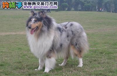 苏格兰牧羊犬价格苏格兰牧羊犬多少钱苏格兰牧羊犬图片