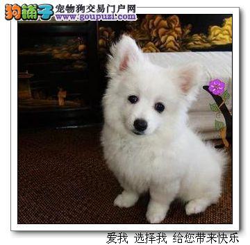 出售纯种日本银狐犬,日本尖嘴疫苗齐全包健康纯种