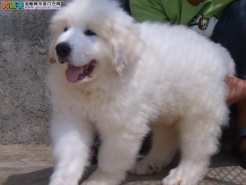 专业养殖纯种大白熊温顺的狗狗包健康质保90天