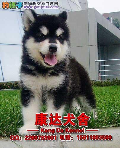 中国 东莞/广东最大养狗基地世界名犬专业狗场40多种狗[三个月公母全有]