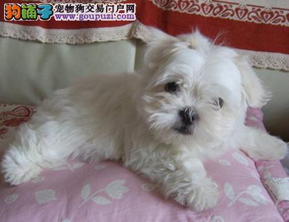 纯种健康马尔济斯幼犬 可办理血统证书