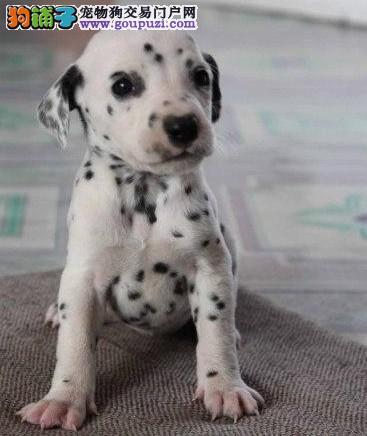 出售 大麦町犬斑点 犬 先协议保健康