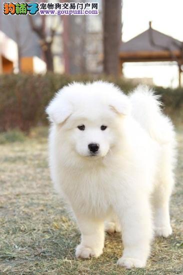 极品微笑天使上海萨摩耶狗场低价出售 可接受预定