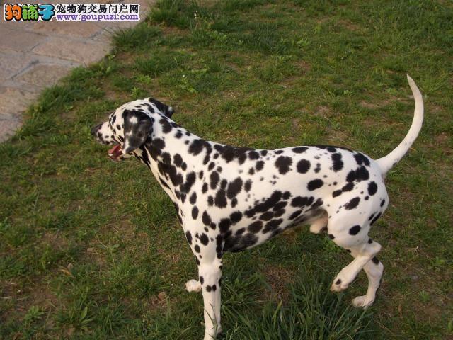 重庆主城区南坪销售各种名犬幼犬,疫苗齐全驱虫已做
