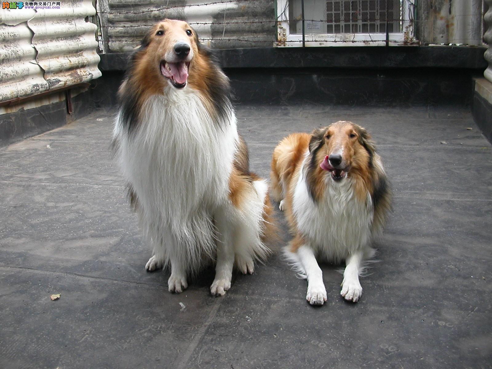 基地出售纯种苏格兰牧羊犬,保证健康纯种可上门选购