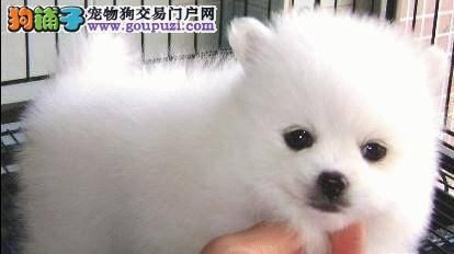 银狐犬哪里有卖的 银狐犬多少钱一只 银狐犬价格